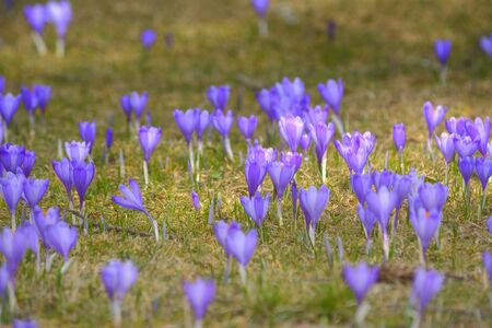 Field of crocuses