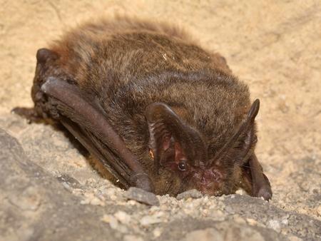 The barbastelle bat (Barbastella barbastellus), western barbastelle hibernation Reklamní fotografie