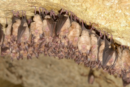 Group of Lesser horseshoe bat (Rhinolophus hipposideros) - wintering colony Stock Photo