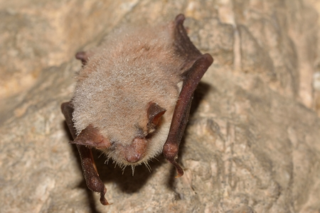 echolocation: Greater mouse-eared bat (Myotis myotis)