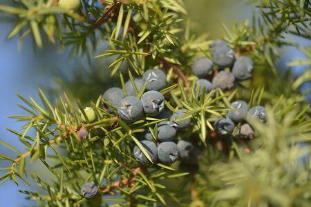 enebro: Juniper berries Foto de archivo