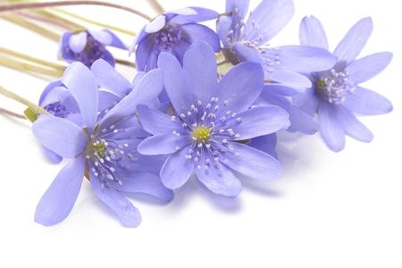 liverwort: Hepatica nobilis on a white background