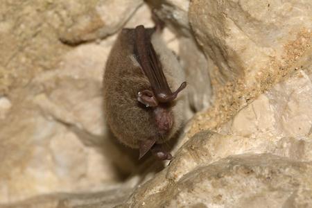echolocation: Daubentons bat hibernating in a bunker system. Myotis daubentonii