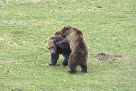 ours: Brown Bear Fighting Stock Photo