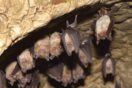 Gruppen Von Schlafhiebe In Der Höhle - Kleines Mausohr (Myotis ...
