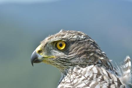 goshawk: Northern Goshawk (Accipiter gentilis)