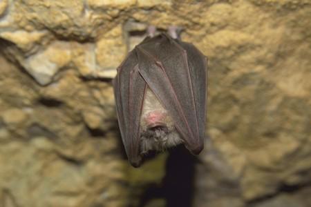 sedentario: Lesser Horseshoe Bat Rhinolophus hipposideros