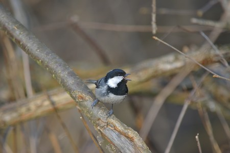 Marsh Tit on a twig in the forest Stock Photo