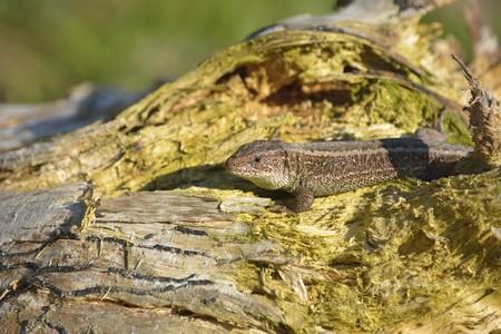 Viviparous lizard (Zootoca vivipara) seen from side. Full length image. Eurasian lizard.