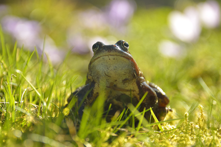 The Common Frog, Rana temporaria also known as the European Common Frog