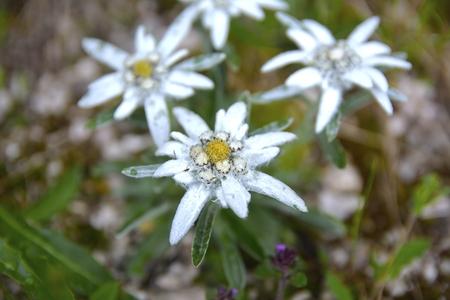 Edelweiss Leontopodium alpinum in natural habitat