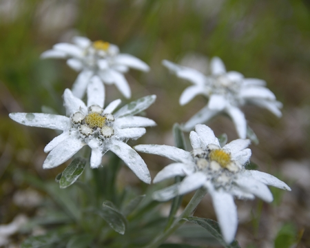 Edelweiss Leontopodium alpinum in natural habitat