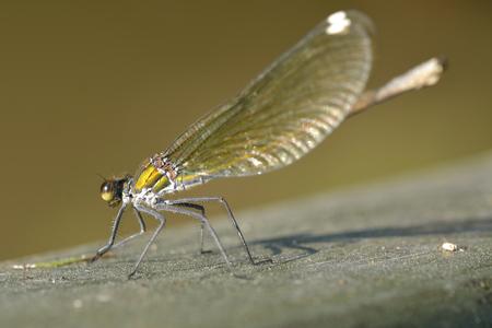 Green Hawker Dragonfly (Aeshna viridis) Stock Photo
