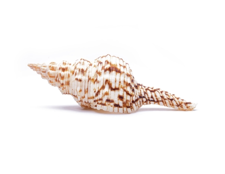 water ecosystem: Seashell of horse conch isolated on white background Stock Photo