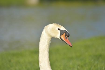 cygnus olor: A beautiful Mute swan Cygnus olor