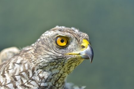Close-up of a juvenile Northern Goshawk (Accipiter gentilis)