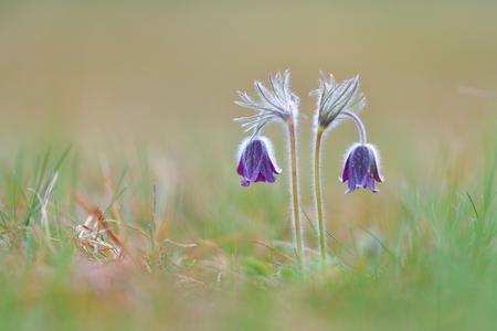 Purple pasque flowers on mountains Stock Photo