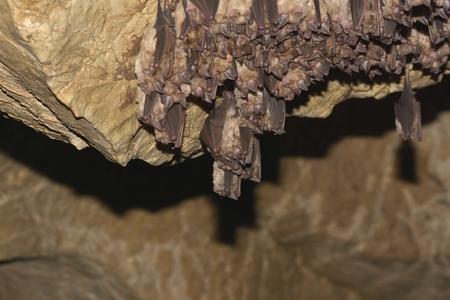 eared: Groups of sleeping bats in cave - Lesser mouse-eared bat (Myotis blythii) and (Rhinolophus hipposideros) - Lesser Horseshoe Bat