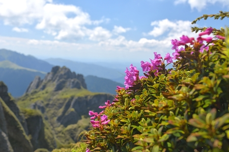 carpathians: Beautiful rhododendron flowers and spring landscape in Ciucas mountains,Romania