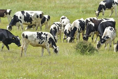 heard: Curious heard of Black White Cows
