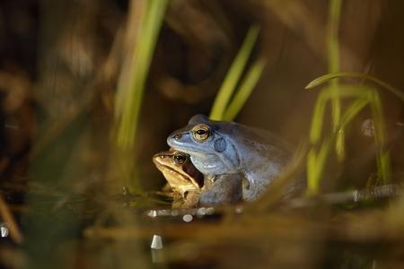 Moor frog in spring (Rana arvalis) Stock Photo