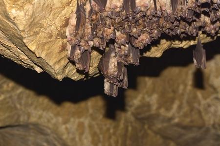 Group of Lesser horseshoe bat (Rhinolophus hipposideros