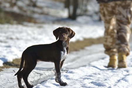 german shorthaired pointer puppy  Stock Photo