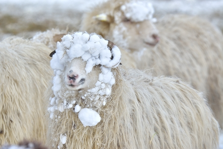 A sheep looks into the camera on a winter day Stock Photo