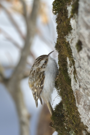 Eurasian treecreeper (Certhia familiaris) Stock Photo