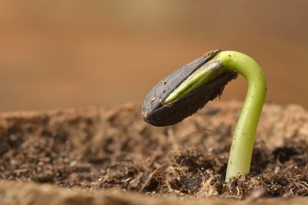 Sunflower seedling bursting from its seed casing. New life Stock Photo