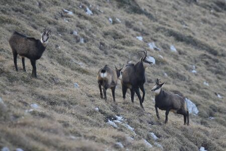 A group of chamois in mountains. Female showing dominant position. Banque d'images
