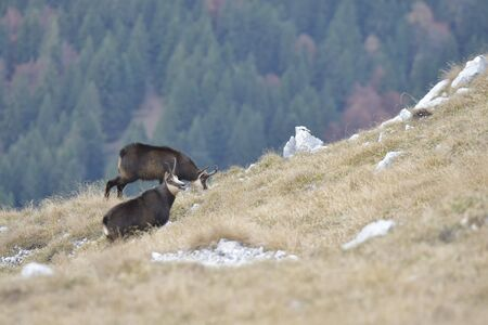 Chamois (Rupicapra rupicapra), mating. Chamois male in routing season Reklamní fotografie