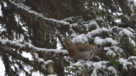 Female western capercaillie in snow  Western capercaillie