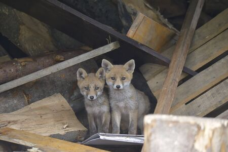Family of red foxes playing near the burrow  Reklamní fotografie