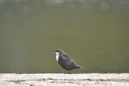 White-throated dipper. Cinclus cinclus near the water