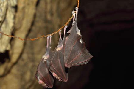 Lesser horseshoe bat, Rhinolophus hipposideros, in the nature cave habitat