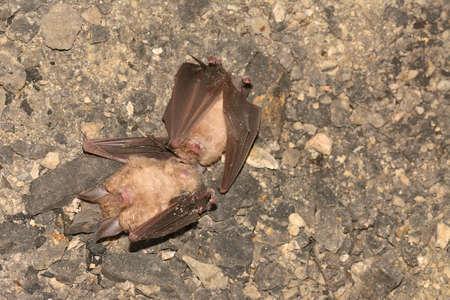 Dead bats. Lesser horseshoe bat, Rhinolophus hipposideros, in the nature cave habitat