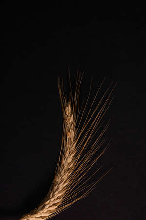 Spikelet of wheat isolated on black background. Banque d'images