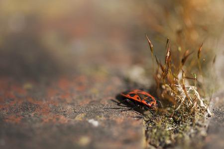 firebug: Firebug Pyrrhocoris apterus on a rock with a patch of moss Stock Photo