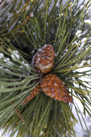 snow cone: Pine cone on a branch covered with snow