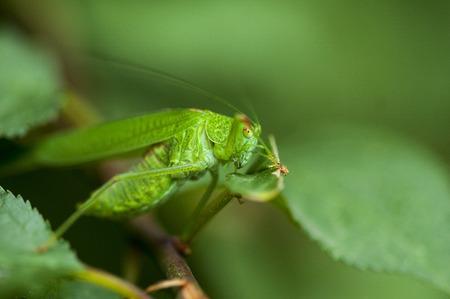 grasshopper: Closeup on a Green Cricket Grasshopper. Grasshopper hidden behind the leaves