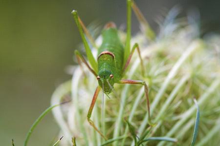 grasshopper: Closeup on a Green Cricket Grasshopper. Grasshopper on a plant.