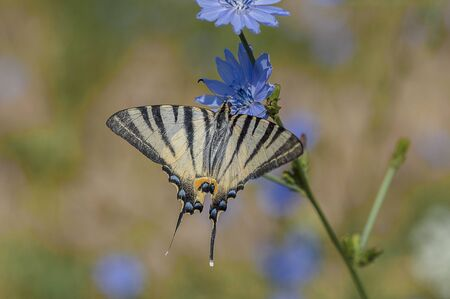 Scarce swallowtail butterfly feeding on a blue chicory flower Stock Photo