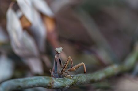 Closeup of a Praying Mantis (European mantis) front legs . Shallow depth of field.