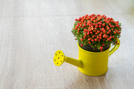 Small ornamental flower with red beeds in a yellow watering can. Nertera granadensis. Coral bead plant. Pin-cushion plant. Coral moss. Baby tears.