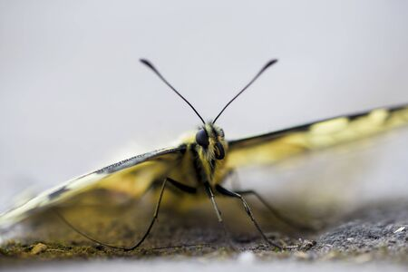 Close-up of a scarce swallowtail butterfly (Iphiclides podalirius) sitting on the pavement