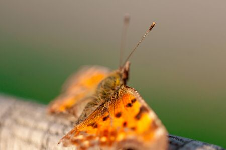 Close-up of a butterfly with broken wings. The Queen of Spain fritillary. Issoria lathonia. Selective focus. Reklamní fotografie