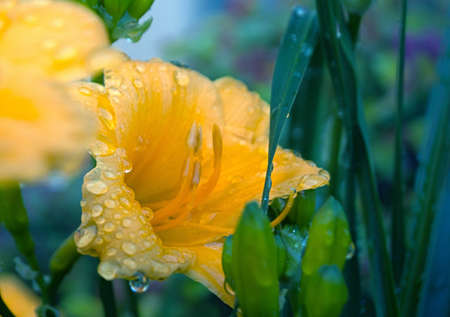 Yellow Macro Flower and rain drops