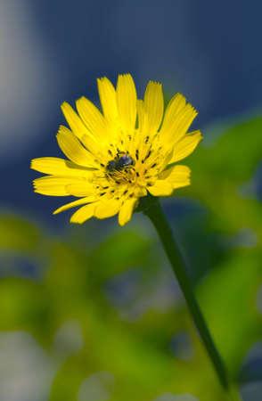 Yellow Macro Flower and Bee Reklamní fotografie