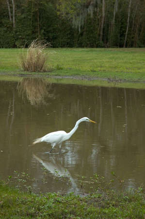 A white bird at the pond, fishing, including reflection